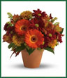 Send this pretty pot of golden fall flowers to someone special today. At this nice price, it's the perfect arrangement for celebrating the season in style! Orange spray roses and miniature gerberas, dark orange alstroemeria, gold cushion spray chrysanthemums, solidago, salal and yellow oak leaves are beautifully arranged in a terra-cotta pot. It's a natural way to glow!